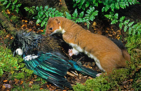 Stoat with dead tui