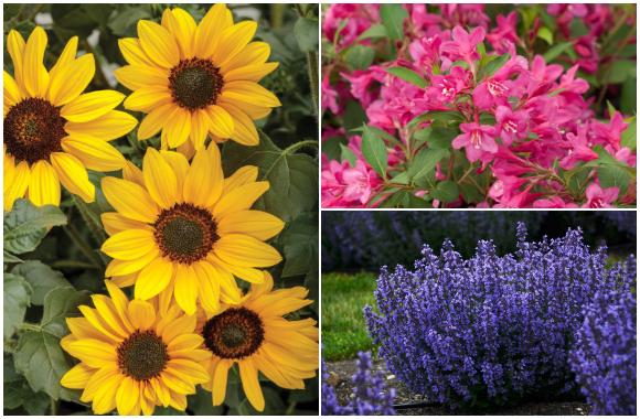 Yellow sunflower, Pink weigela, Purple catmint
