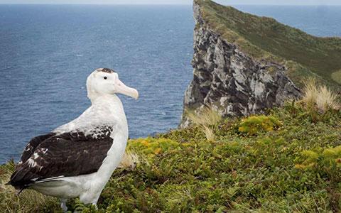 Antipodean albatross.