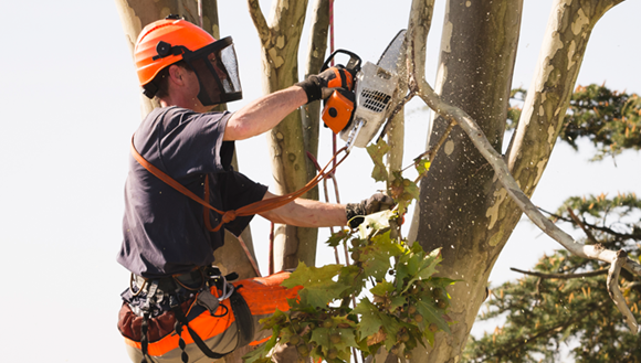 Man with a chainsaw pruning trees