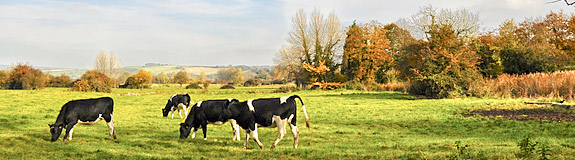Photo of: Cows in a field.