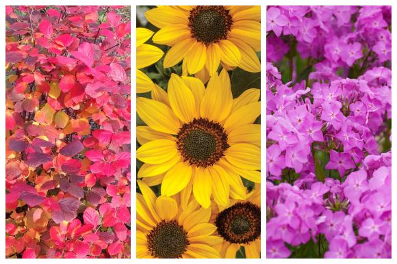 bottlebrush, sunflower, phlox