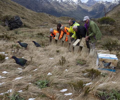 Some of the 41 takahē released into Te Puhi-a-noa last summer. Photo by A. Clare