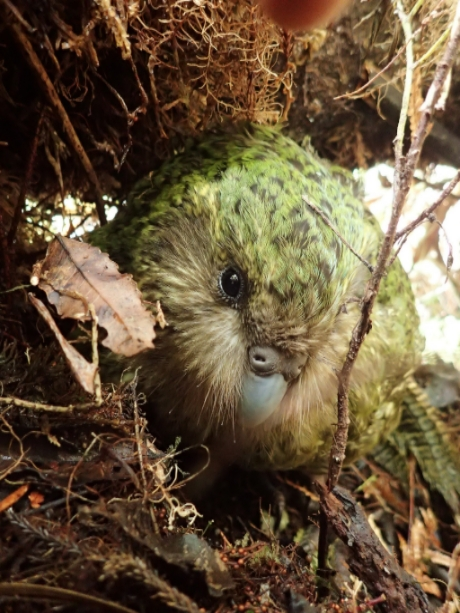 Kākāpō Gertrude. Photo by T.Thompson