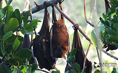 Flying foxes roosting