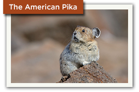 The American Pika