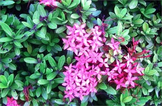 Ixora &#39;Dwarf Pink&#39;