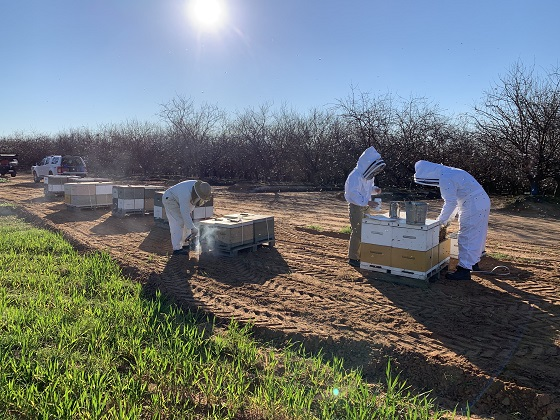 bee biosecurity at almond pollination