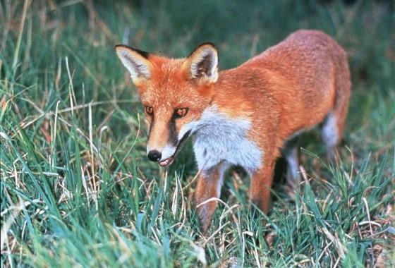 Fox in wild