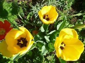 Tulips in the centre's garden