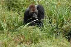 Lowland Gorilla, Congo  Will Bolsover