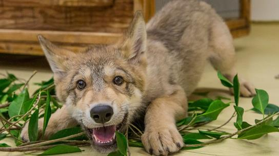 Wolf at the San Diego Zoo