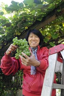 a volunteer cuts a bunch of grapes from a tree.