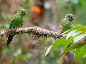 El Oro Parakeets. © Fundación Jocotoco.