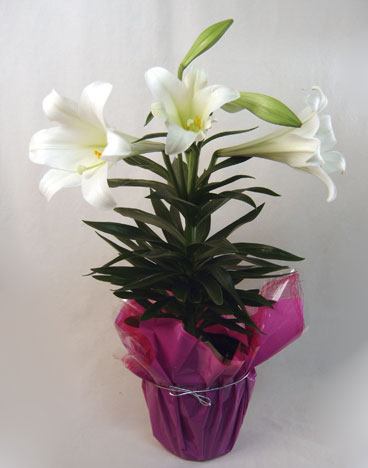 6 Inch Easter Lily