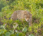 Jaguar, the Brazilian Pantanal