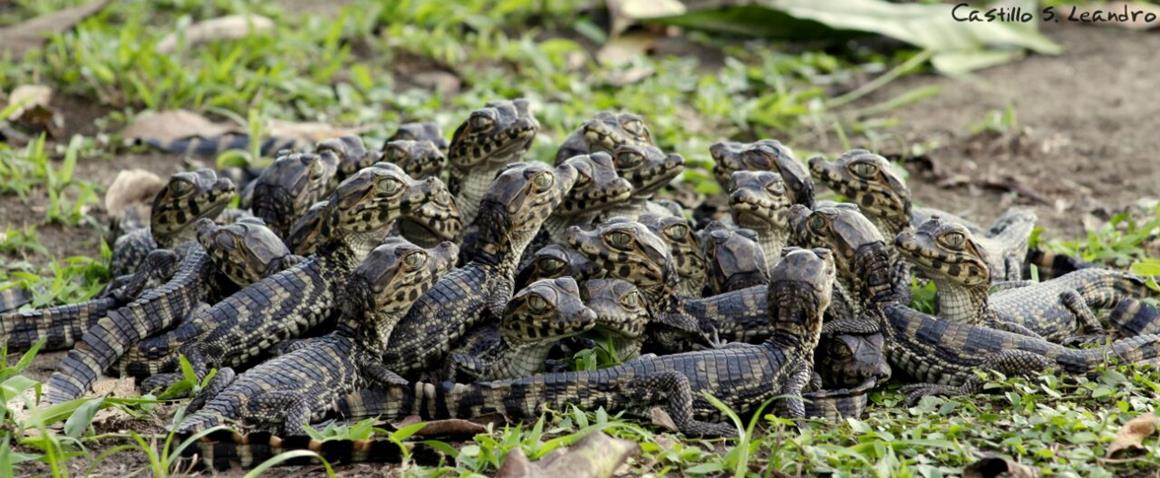 Group of Yacare Caiman in Paraguay, © Leandro Castillo.