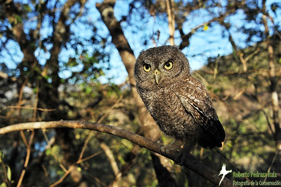 Whiskered Screech Owl released in Mexico. © Roberto Pedraza Ruiz.