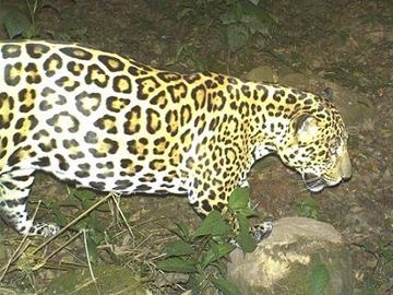 Jaguar. © Fundación Biodiversidad Argentina.