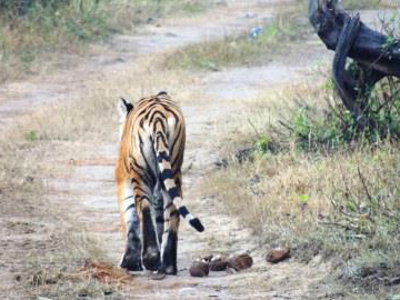 Tiger in Corbett Tiger Reserve, video still. © Wildlife Trust of India.
