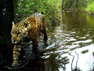 Remote camera image of a Jaguar in the Chaco-Pantanal. © Guyra Paraguay