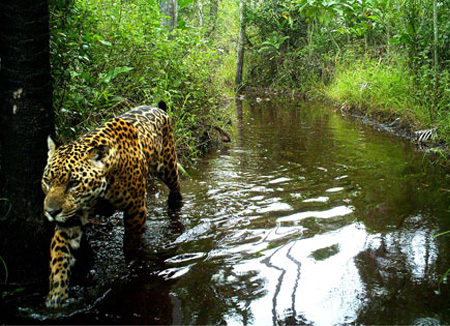 Jaguar image recorded by trail camera. © Guyra Paraguay.