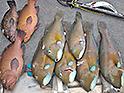 Six baldchin groper and three breasksea cod on the deck of a boat