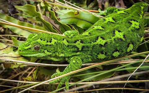 Jewelled gecko.