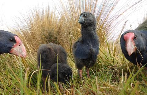 Young takahē family at Burwood Takahē Centre. Photo by L. van Beek