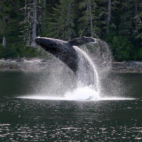 Humpback breaching by Rob Lott