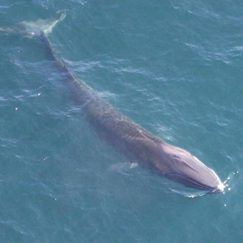 A fin whale