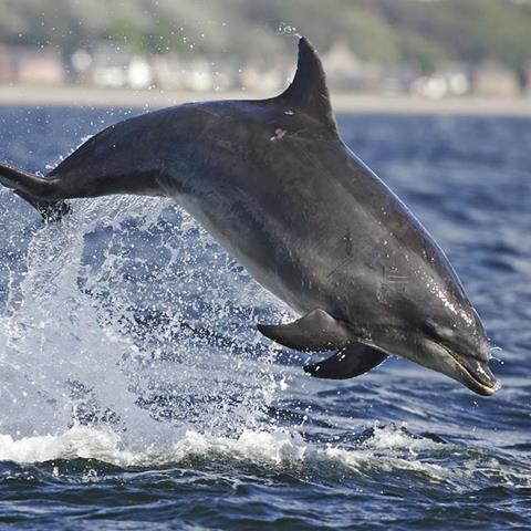 A dolphin breaches
