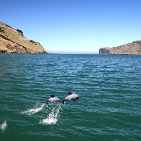Two NZ dolphins leaping