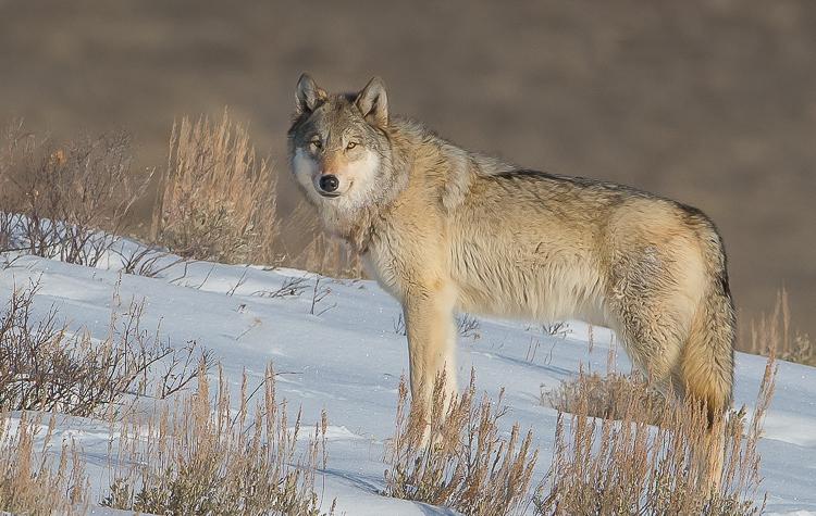 Jackson Hole Photography Tours - Wolf