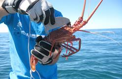 Image of man holding a rock lobster and measuring length of its carapace